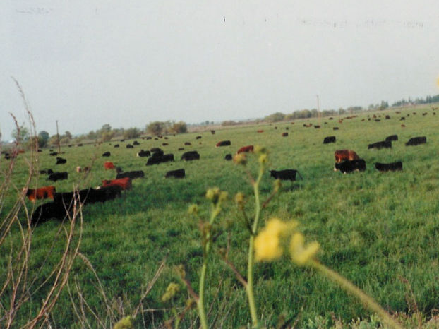 Schmitz Ranch cows grazing in a large and open field